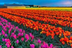 Мельницы adnd поля тюльпана старые в netherland Стоковое фото RF