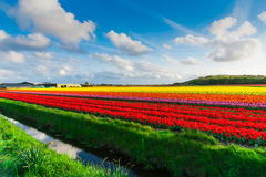 Мельницы adnd поля тюльпана старые в netherland Стоковое Фото