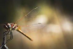 Мембрана крыла Dragonfly Стоковое Изображение