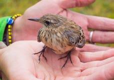 Меньшая гора запятнала птицу Стоковые Фотографии RF