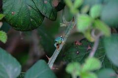 Меньшая древесная лягушка на дереве ежевичника стоковые изображения