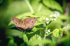 Меньшая деревянная бабочка сатира (цимбала Megisto) Стоковые Изображения RF