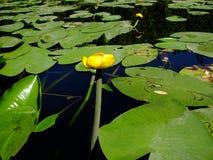 Меньшая лилия желтой воды на зеленых листьях стоковое изображение