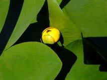Меньшая лилия желтой воды на листьях 1 зеленого цвета стоковая фотография rf