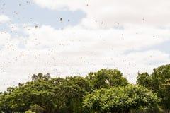 Меньшая красная лиса летания, scapulatus крылана, колония в полете Стоковое Изображение