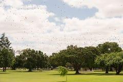 Меньшая красная лиса летания, scapulatus крылана, колония в полете Стоковые Изображения RF