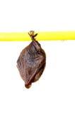 Меньшая летучая мышь Стоковое Фото