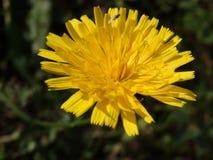 Меньшая муха на цветке Стоковая Фотография