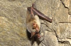 Меньшая мыш-ушастая летучая мышь (blythii Myotis) Стоковое Изображение