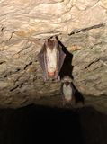 Меньшая мыш-ушастая летучая мышь (myotis Myotis) Стоковая Фотография RF