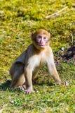 Меньшая обезьяна Berber сидя самостоятельно на луге стоковые изображения rf