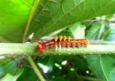 Меньшая оранжевая гусеница взбираясь на зеленой ветви Стоковое Фото