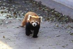 Меньшая панда Стоковое Изображение