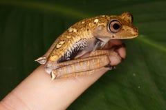 Меньшая древесная лягушка на моем пальце Стоковые Изображения RF