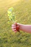Меньшая рука Childs держа свежую редиску от сада Стоковые Изображения RF