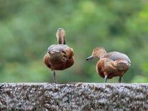 Меньшая Свистеть-утка Стоковое Изображение