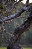 Меньшая свистя утка Стоковые Фото