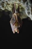 Меньшая спячка hipposideros Rhinolophus Horseshoe летучей мыши Стоковые Изображения RF