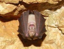 Меньшая Horseshoe летучая мышь (hipposideros Rhinolophus) Стоковые Изображения RF