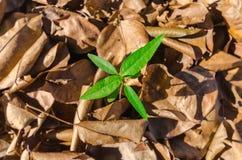 Меньшее дерево растя вне от кучи сухих листьев Стоковые Фотографии RF