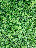 Меньшее дерево, чай Fukien Стоковые Фото
