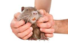 Меньшее милое nutria в мужских руках стоковое изображение