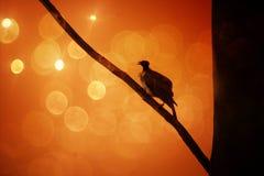 Меньшее friarbird стоковые фотографии rf