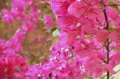 Меньшее glabra бугинвилии бугинвилии, цветеня в саде, мягкий фокус и солнечный свет цветок предпосылки красивейший Стоковое Изображение RF