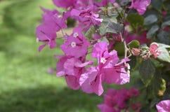 Меньшее glabra бугинвилии бугинвилии, цветеня в саде, мягкий фокус и солнечный свет цветок предпосылки красивейший Стоковое Изображение