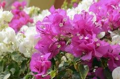 Меньшее glabra бугинвилии бугинвилии, цветеня в саде, мягкий фокус и солнечный свет цветок предпосылки красивейший Стоковые Фото