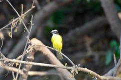 Меньшее kiskadee сидя на ветви Стоковая Фотография