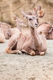 Меньшее kudu Стоковые Изображения RF