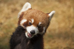 Меньшяя панда Стоковые Изображения