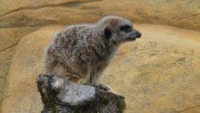 Меньшее suricate на сигнале тревоги стоковое изображение rf