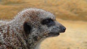 Меньшее suricate на сигнале тревоги стоковое фото rf