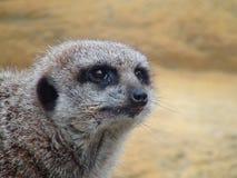 Меньшее suricate на сигнале тревоги стоковая фотография rf