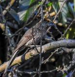 Меньшее Wattlebird в дереве стоковое фото rf