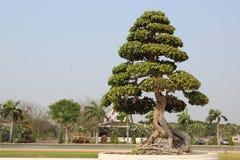 Меньшие дерево или бонзаи Стоковые Изображения RF
