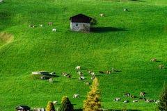 Меньшие коровы на холме около деревни, миниатюрном взгляде зеленой травы Стоковые Изображения
