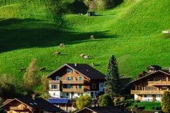 Меньшие коровы на холме около деревни, миниатюрном взгляде зеленой травы Стоковые Фотографии RF