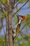 Меньшие поддерживаемый Золот Woodpecker или черно--rumped Flameback Стоковая Фотография RF