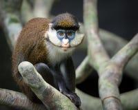 Меньшие Пятн-обнюхали обезьяну Стоковое Изображение RF