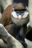 Меньшие Пятн-обнюхали обезьяну II Стоковая Фотография