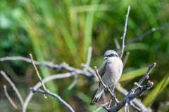 Меньшие серые shrike или несовершеннолетний Lanius на ветви стоковое изображение rf