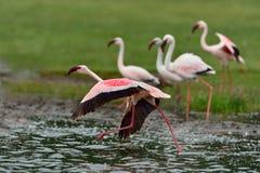 Меньшие фламингоы Стоковые Фото