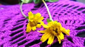 Меньшие цветки звезды желтого цвета на фиолетовой гонке Стоковая Фотография