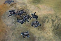 меньшие черепахи моря стоковая фотография