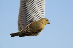 Меньшие Goldfinches Стоковая Фотография RF