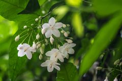Меньший белый цветок religiosa Wrightia в саде природы Стоковое Изображение