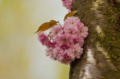 Меньший букет blossoming японской вишни на дереве Стоковая Фотография RF